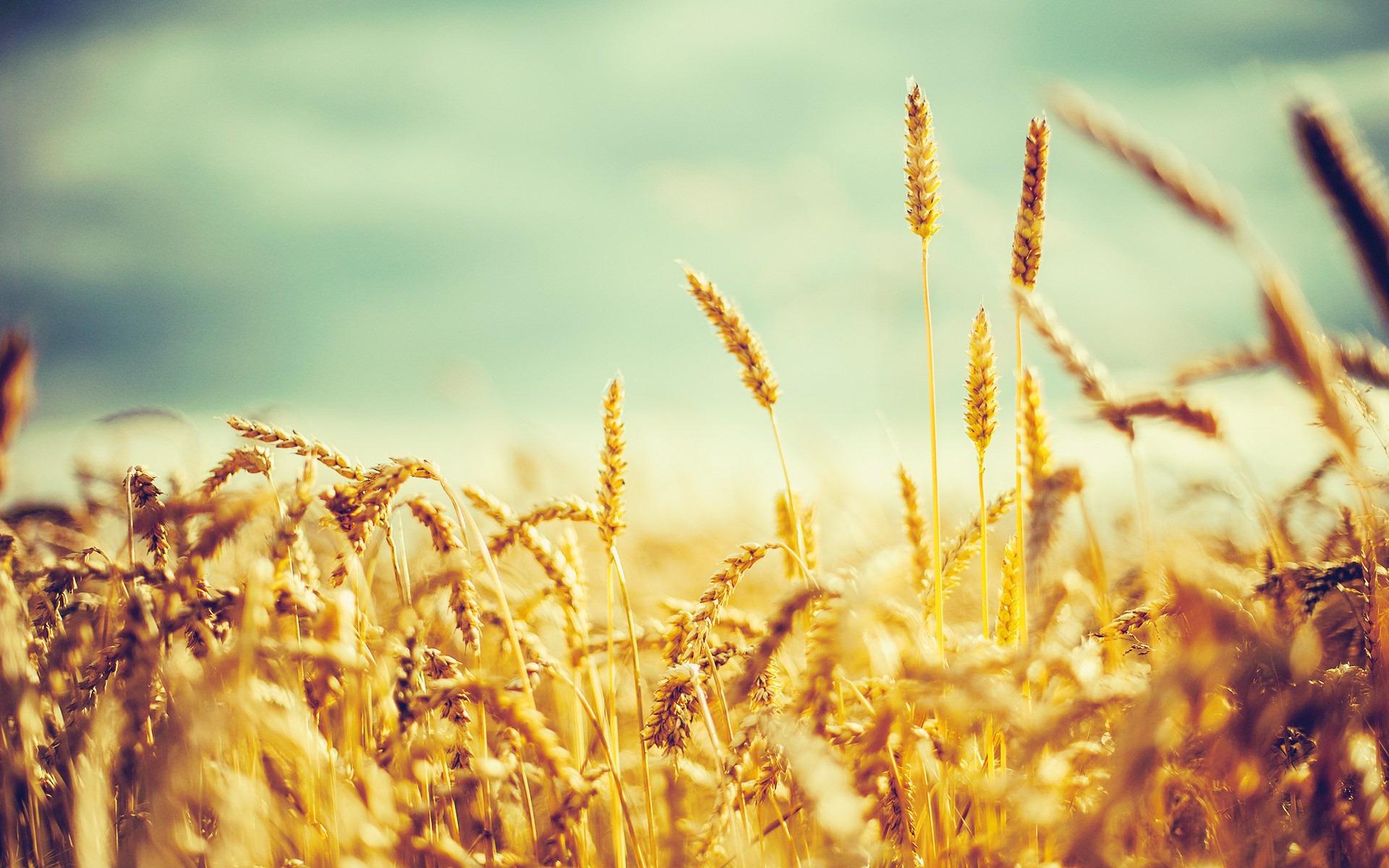 golden-wheat-vintage-plants_504229